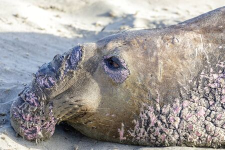 Northern Elephant Seal Adult Male Head during Molting Season. Point Piedras Blancas, San Simeon, California, USA. Reklamní fotografie