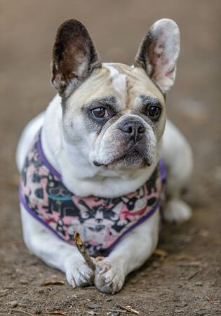 Pied French Bulldog female holding a twig. Off-leash Dog Park in Northern California.