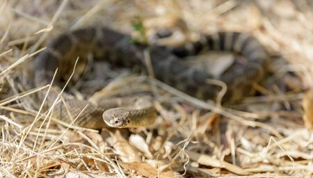 Northern Pacific Rattlesnake coiled and ready to strike. Russian Ridge Open Space Preserve, San Mateo County, California, USA. Stock fotó