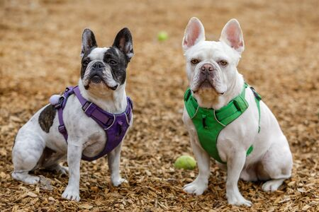 French Bulldog and Boston Terrier mix brother (right) and sister (left). Off-leash dog park in Northern California.