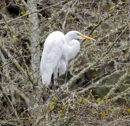 Great Egret perched on a tree. Henry Cowell Redwoods State Park, Santa Cruz County, California, USA.