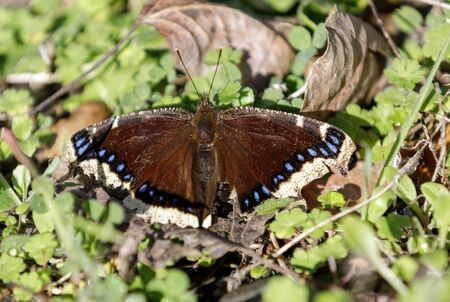 Mourning Cloak (Nymphalis antiopa)  butterfly basking in a warm winter day. Santa Clara County, California, USA.