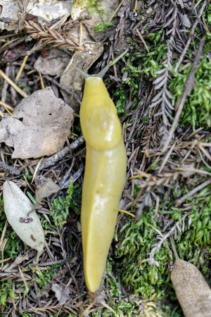 California Banana Slug. Santa Cruz County, California, USA. Imagens