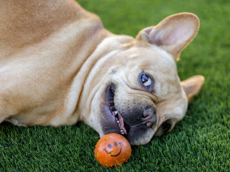 Playful Frenchie Rolling Eyes and Looking at Camera. Off-leash dog park in Northern California. Stock fotó