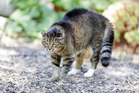 Threatened European Shorthair Cat Arching Back with Hair Standing Up