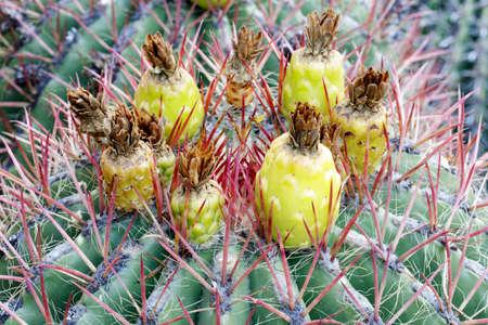 Ferocactus Wislizeni Cactus in Bloom. Arizona Cactus Garden, Stanford, California.