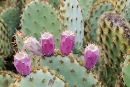 Prickly Pear Cactus with Fruits at the Arizona Cactus Garden