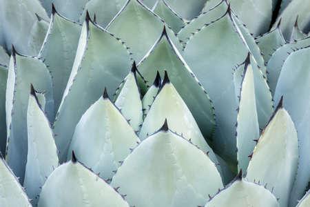 Agave Parryri Closeup at the Arizona Cactus Garden in Stanford California Stock fotó