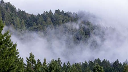 Pine Forest in Fog. Mount Tamalpais, Marin County, California, USA.