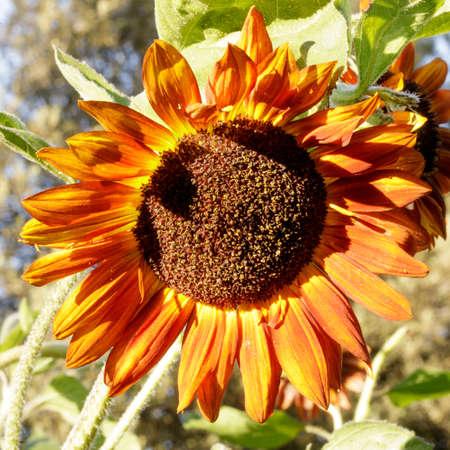 Red Sunflower in Bloom in San Francisco Bay Area, California Stock fotó