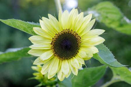 Lemon Queen Sunflower in Bloom in San Francisco Bay Area, California