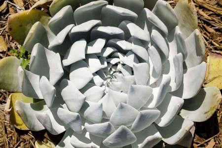 Dudleya Anthonyi Succulent Plant Details