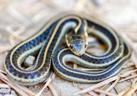 Coast Garter Snake coiled in defense posture. Mt Tamalpais, Marin County, California, USA.