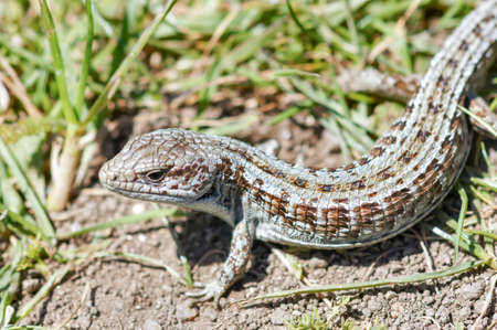 San Francisco Alligator Lizard. Marin County, California, USA.