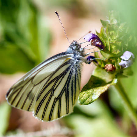 Margined White (pieris marginalis) butterfly drinking nectar from a flower. San Mateo County, California, USA. Stock fotó