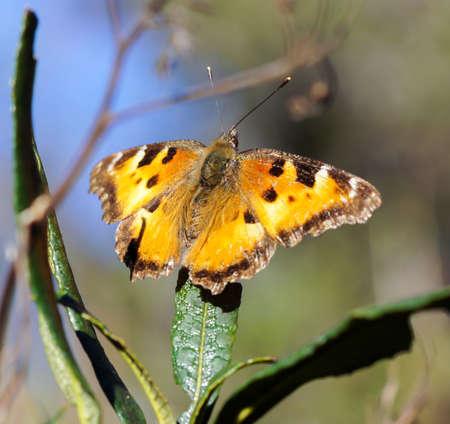 Satyr Comma butterfly perched on a plant. Santa Clara County, California, USA.