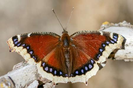 Mourning Cloak (Nymphalis antiopa) butterfly basking. Santa Clara County, California, USA. Stock fotó