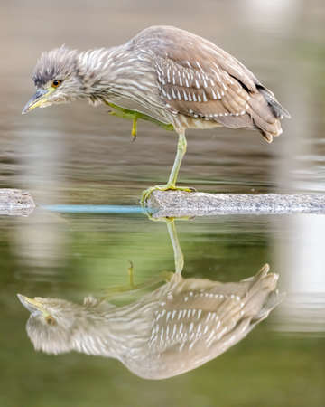 Black-crowned night heron, juvenile, fishing in lake. San Mateo County, California, USA.