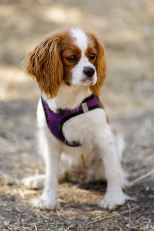 5-Months-Old Blenheim Cavalier King Charles Spaniel Puppy Sitting and Looking Away Фото со стока