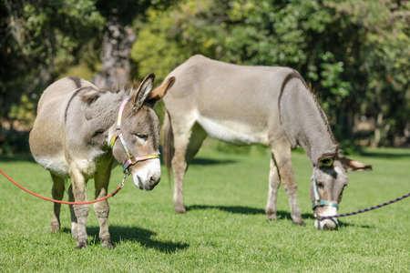 Two Donkeys Grazing on Grass Фото со стока