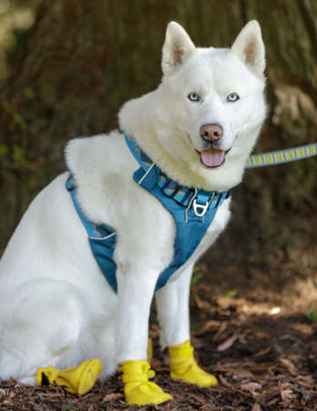 White Siberian Husky Male wearing paw-protective shoes.