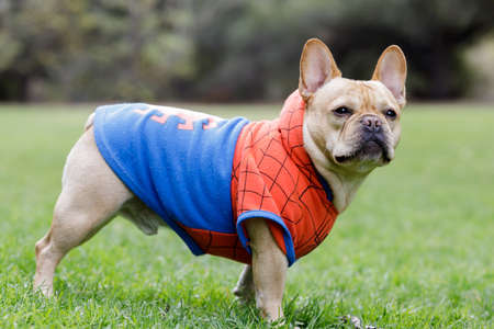 Young Male French Bulldog Dressed Up as Spider Man