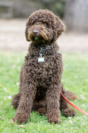 Chocolate brown Labradoodle male puppy sitting and looking a way