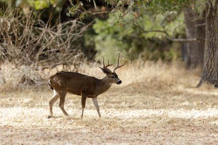 Black-tailed Deer Stag Browsing. Woodside, San Mateo County, California, USA. Фото со стока