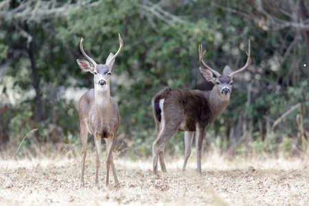 Black-tailed Deer Stags Browsing. Woodside, San Mateo County, California, USA.
