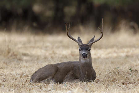 Black-tailed Deer Stag Resting. Woodside, San Mateo County, California, USA.