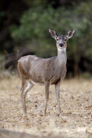 Alert Black-tailed Deer Doe. Woodside, San Mateo County, California, USA. Фото со стока