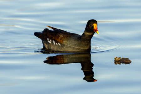 Common Gallinule Adult Swimming. Santa Clara County, California, USA.