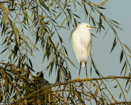 Snowy Egret Perched on Tree. Santa Clara County, California, USA.