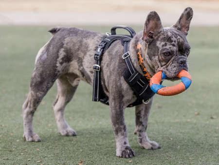 7-Month-Old Blue Merle Male Puppy French Bulldog Fetching Ring Toy.