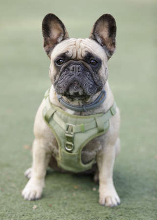 5-Years-Old Female Fawn Frenchie Sitting and Looking at Camera.