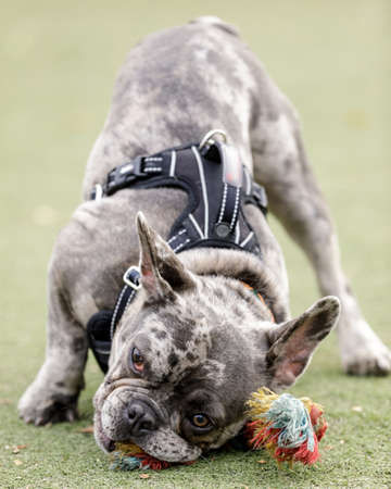 7-Month-Old Blue Merle Male Puppy French Bulldog Chewing Knot Rope Toy Фото со стока