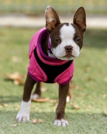 14-Week-Old White and Brown Boston Terrier Female Puppy
