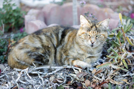 American Shorthair Cat Resting. Front yard in Northern California.
