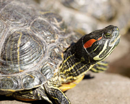 Red-eared slider turtle sun bathing near a pond. Alameda County, California, USA.