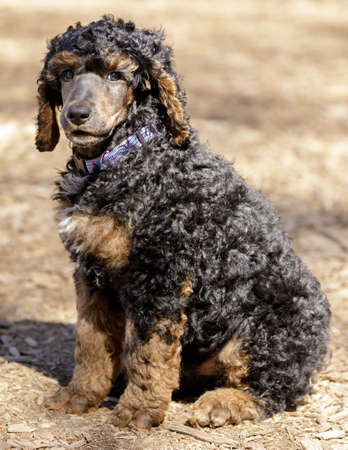 8-Week-Old Standard Phantom Poodle male puppy sitting and looking at camera. Off-leash dog park in Northern California.