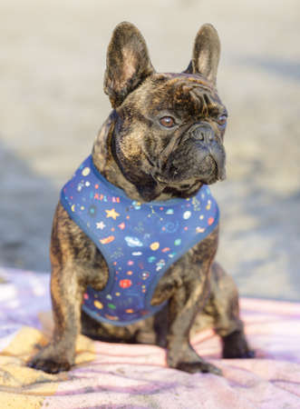 8-Month-Old brindle Frenchie male puppy sitting on a beach towel and looking away. Sandy Beach in Northern California. Archivio Fotografico