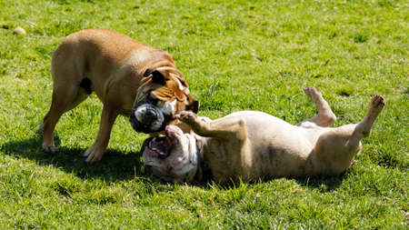 Two English Bulldogs playing. Off-leash dog park in Northern California.