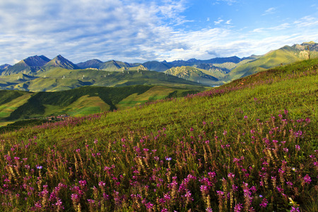 plateau of flowers: Qinghai, Menyuan, plateau sight beauty tourism
