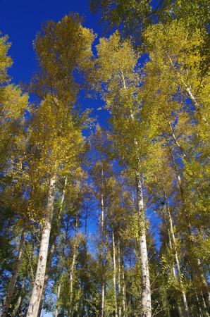 poplar: Poplar trees