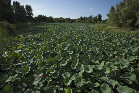 wide  wet: lotus pond Stock Photo