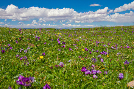 small purple flower: Grass along the Qinghai-Tibet Highway, small purple flower