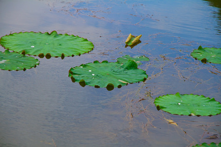 peacefulness: Lotus