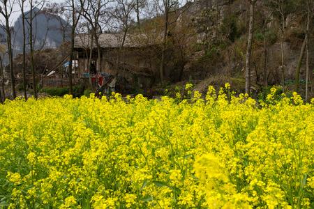 alchemilla: Anshun City, provincia di Guizhou canola fiore, fiori di montagna canola