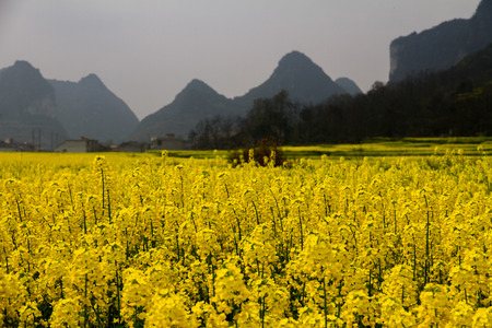alchemilla: Anshun City, Guizhou Province canola flower, mountain canola flower