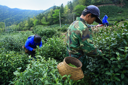 plucking: Farmers plucking tea leaves
